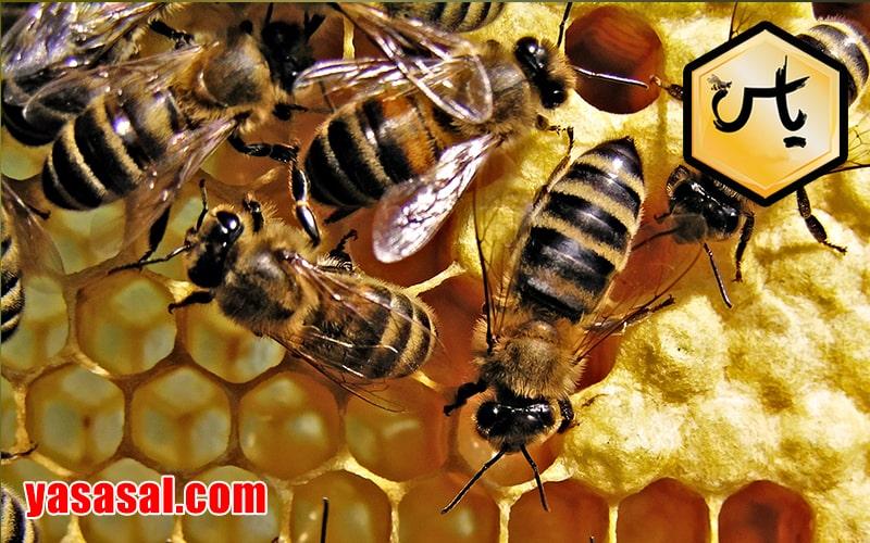 نحوه ی تولید عسل توسط زنبور عسل